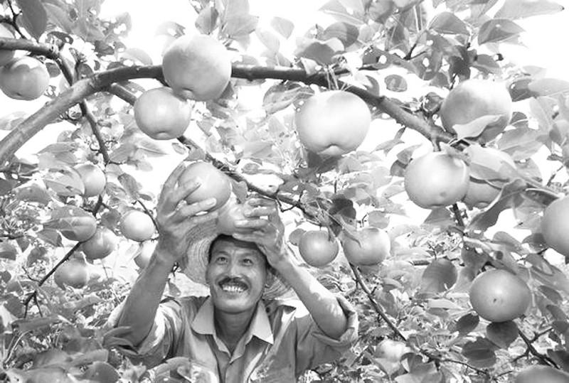 疏除密枝在夏季对梨树管理十分重要,对改善果实品质和
