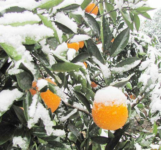 推迟修剪时间 葡萄树体受冻,种植户注意的是春季修剪不要太早