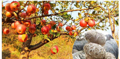 把一棵苹果树