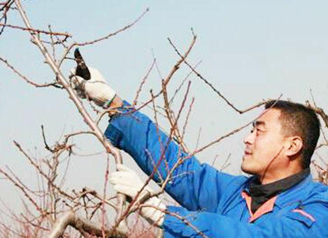 苹果树冬剪时间咋安排