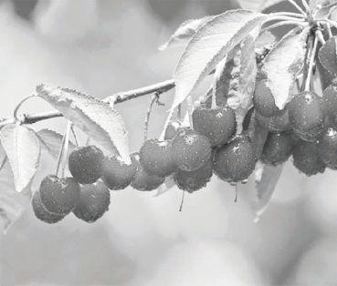 樱桃采后这样修剪 - 平阴玫瑰甲天下 - 我心永恒博客乐园 平阴玫瑰甲天下