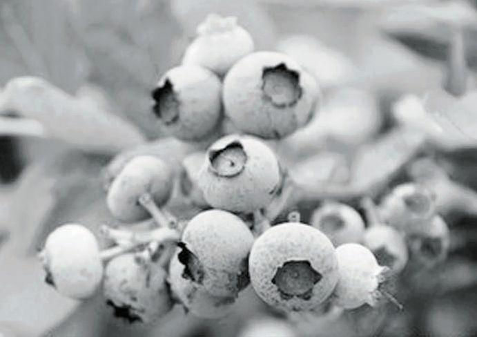 """""""自然农法""""种蓝莓 生态美味果有机 - 平阴玫瑰甲天下 - 我心永恒博客乐园 平阴玫瑰甲天下"""