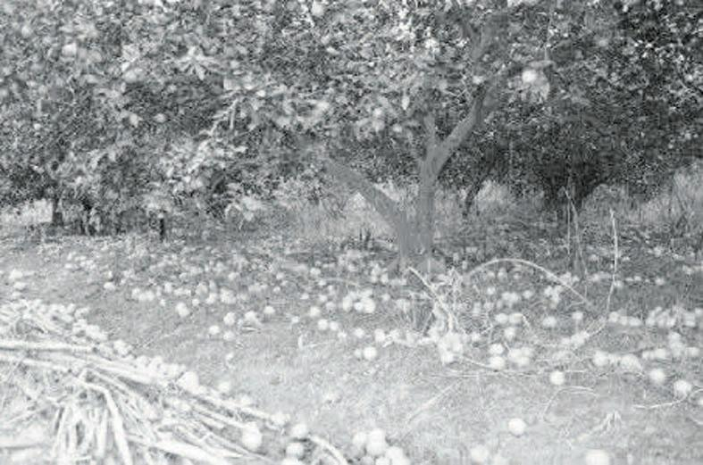 柑橘要增产 五月这么管 - 平阴玫瑰甲天下 - 我心永恒博客乐园 平阴玫瑰甲天下