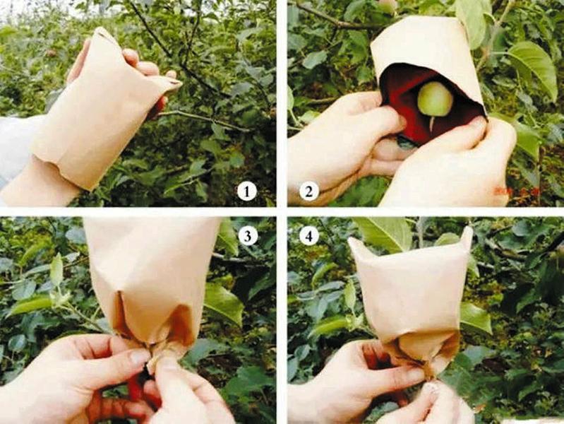 苹果套袋需掌握正确技术 - 平阴玫瑰甲天下 - 我心永恒博客乐园 平阴玫瑰甲天下