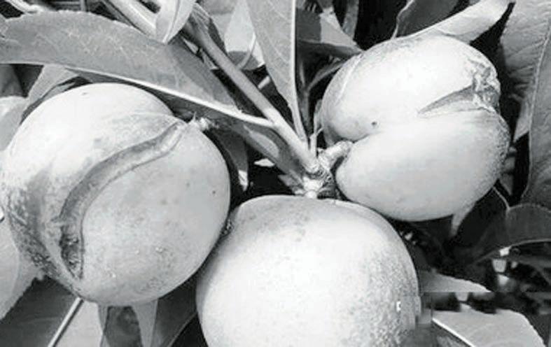 桃果成熟期如何预防裂果 - 平阴玫瑰甲天下 - 我心永恒博客乐园 平阴玫瑰甲天下