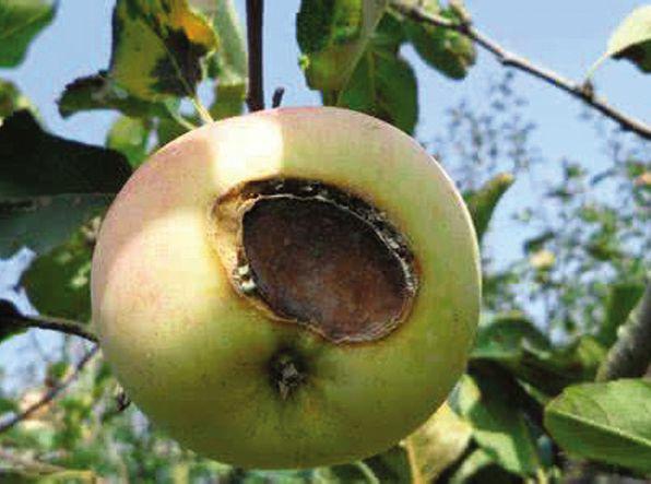 苹果怎么预防日烧 - 平阴玫瑰甲天下 - 我心永恒博客乐园 平阴玫瑰甲天下