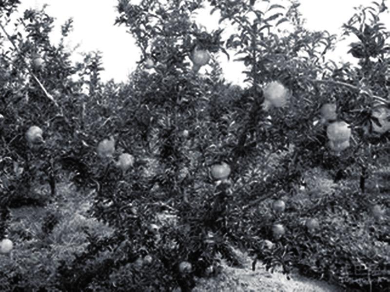 石榴树冬季管理技术